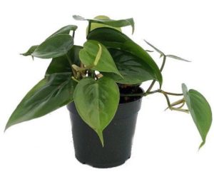 Philodendron hard to kill plant