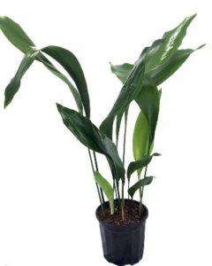 cast iron hard to kill plant