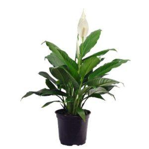 hard to kill peace lily plant