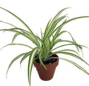 hard to kill spider plant