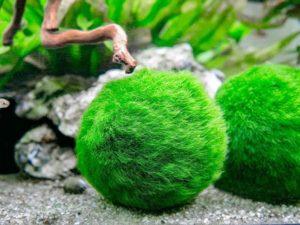 marimo ball hard to kill plant