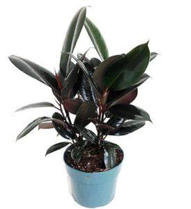 rubber tree hard to kill plant