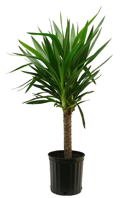 Yucca Plant Care Tips Growing Advice: 20 Of The Best Hard To Kill Indoor Plants