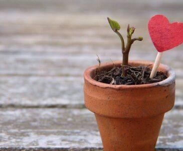 Valentines heart plant
